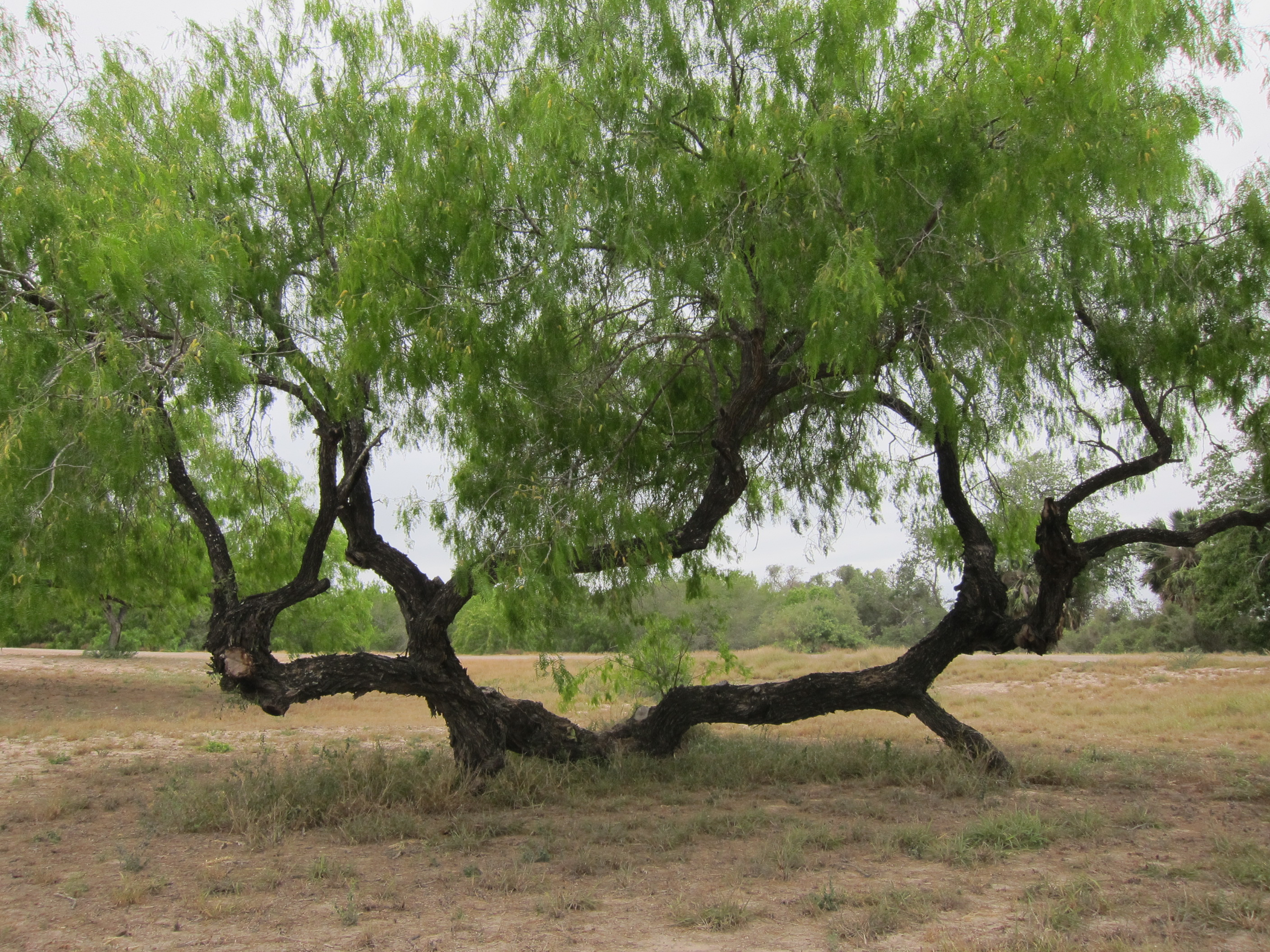 Related Keywords Amp Suggestions For Mesquite Tree