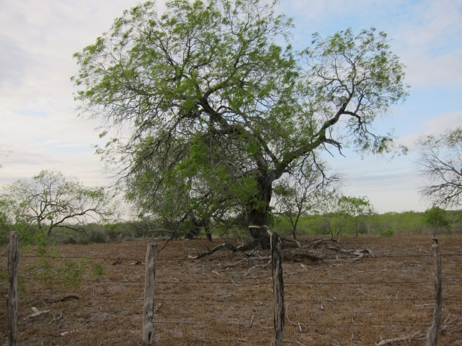 Old Mesquite Tree