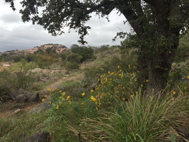 Enchanted Rock Sunflowers