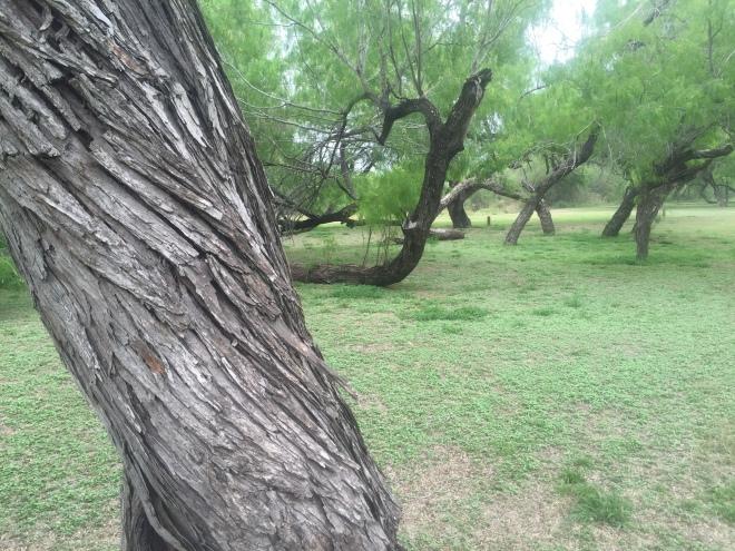 Bentsen State Park Mesquite