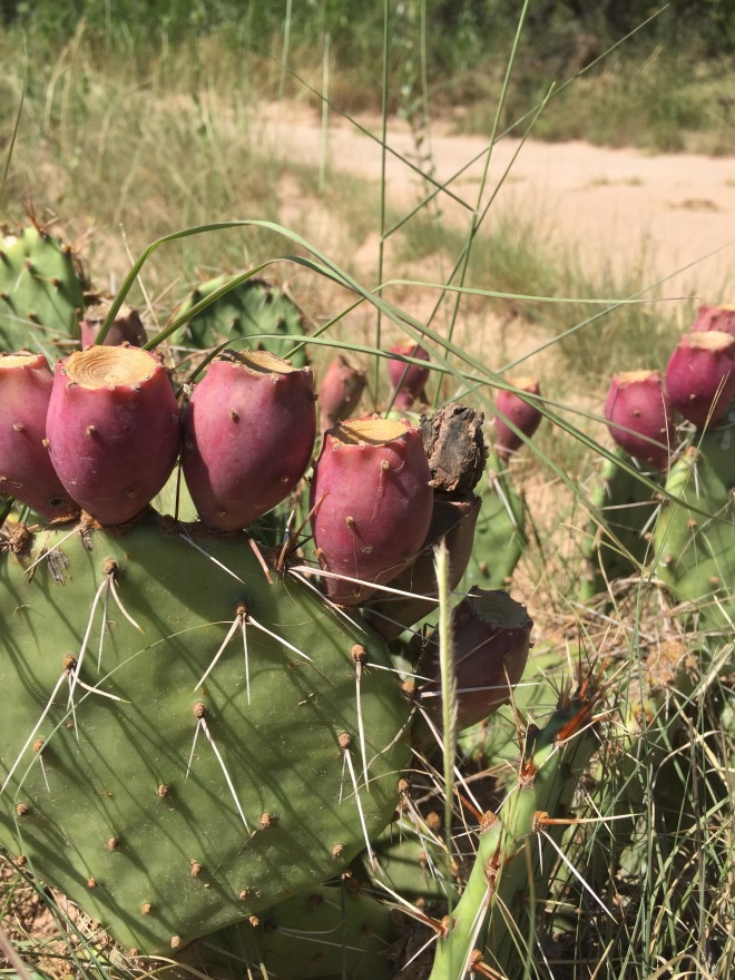 Prickly Pear Fruit