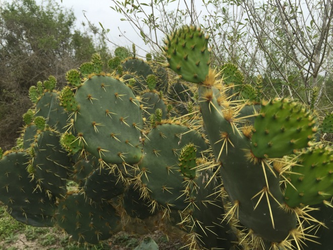 Prickly Pear Pads