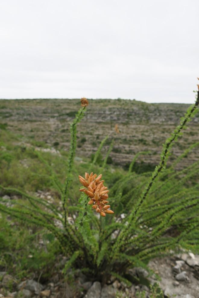 Ocotillo Closeup