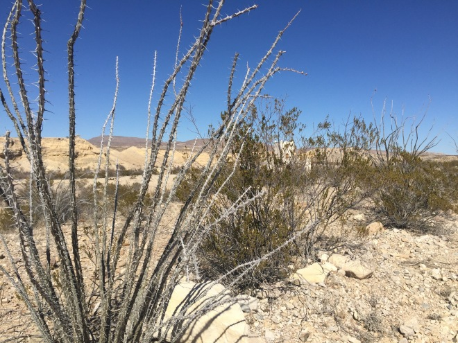 Ocotillo Dormant