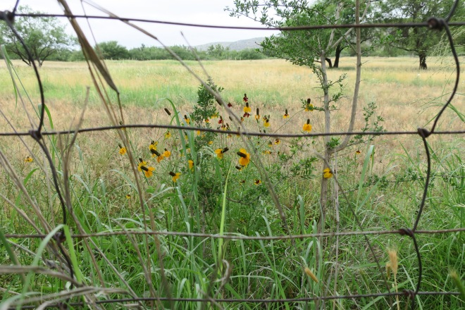 Mexican hat fence