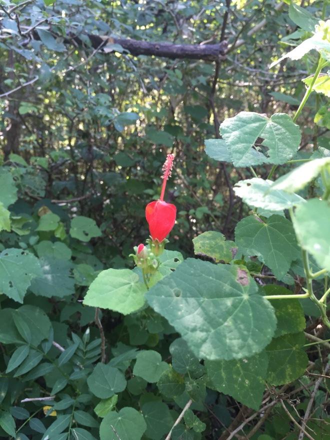 Turk's Cap Flower