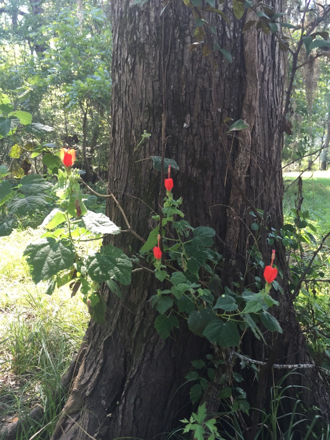Tree and Turk's Cap