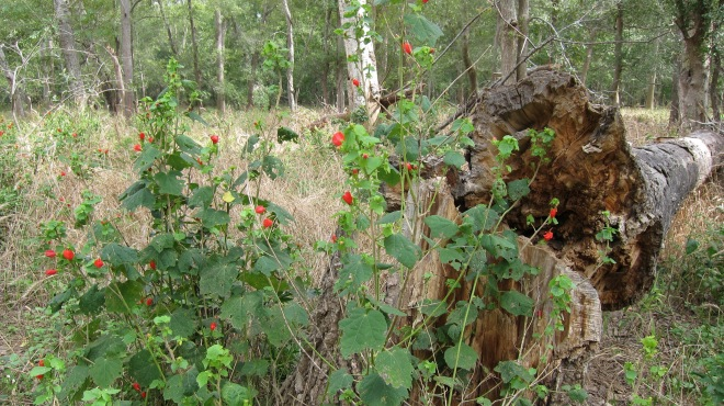 Turk's Cap and Log