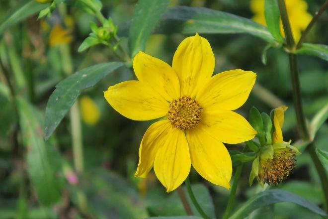 bur-marigold-close