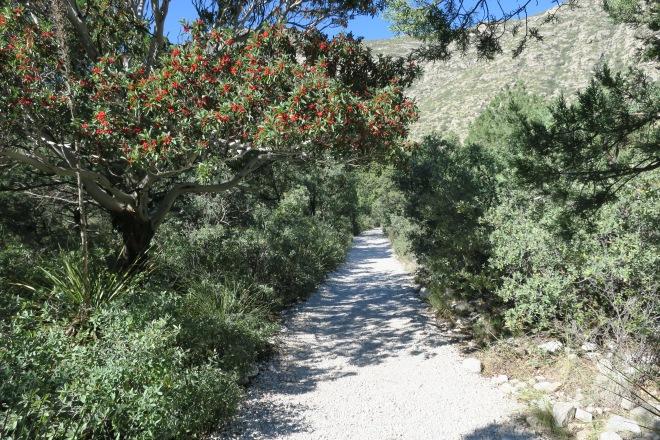 mckittrick-manzanita-tree