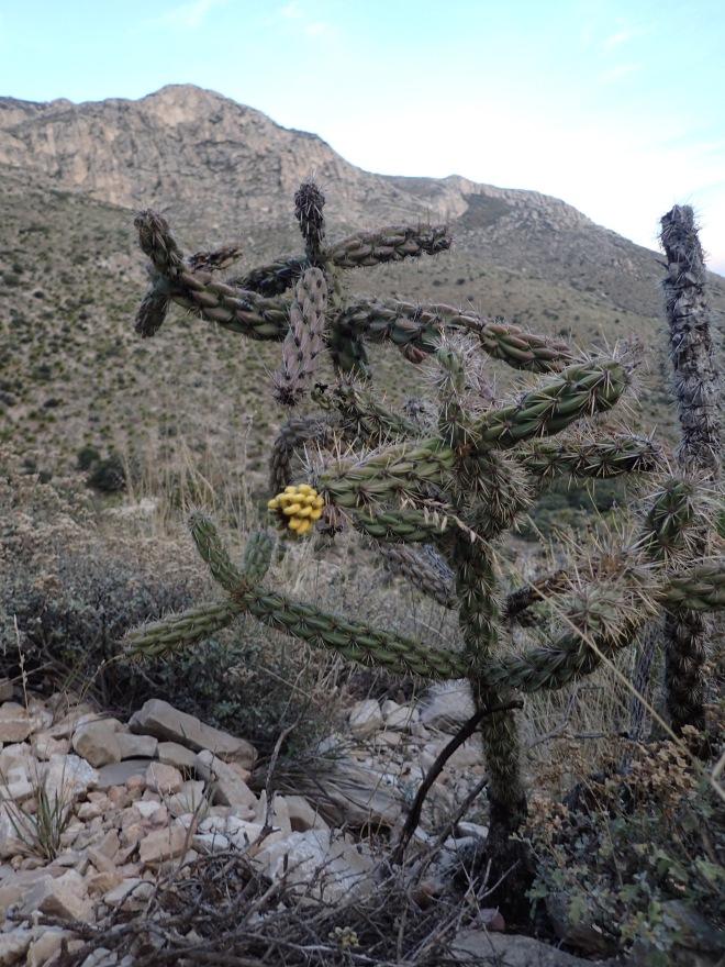 Cholla Cactus B