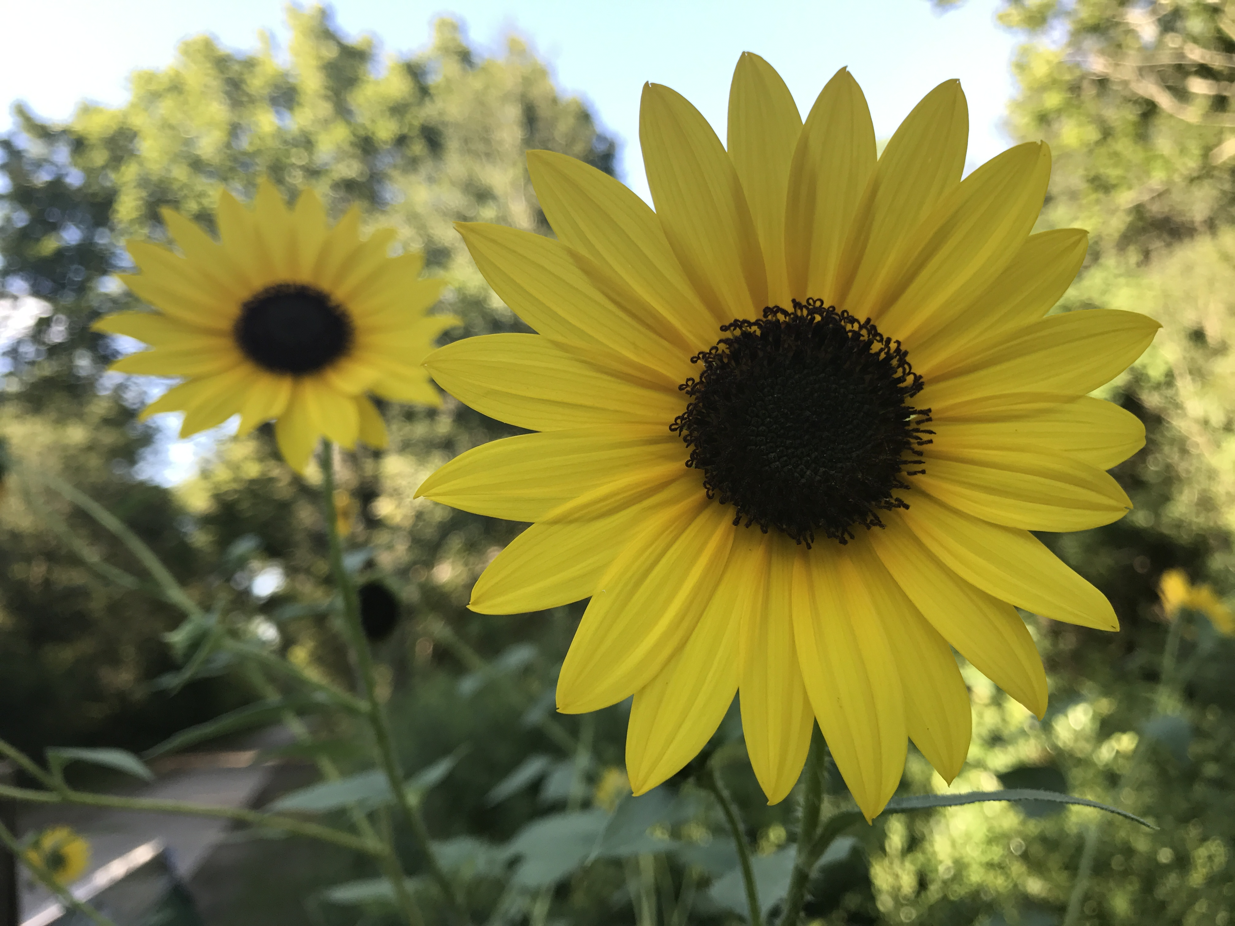 5 Facts About Sunflowers Explore Texas