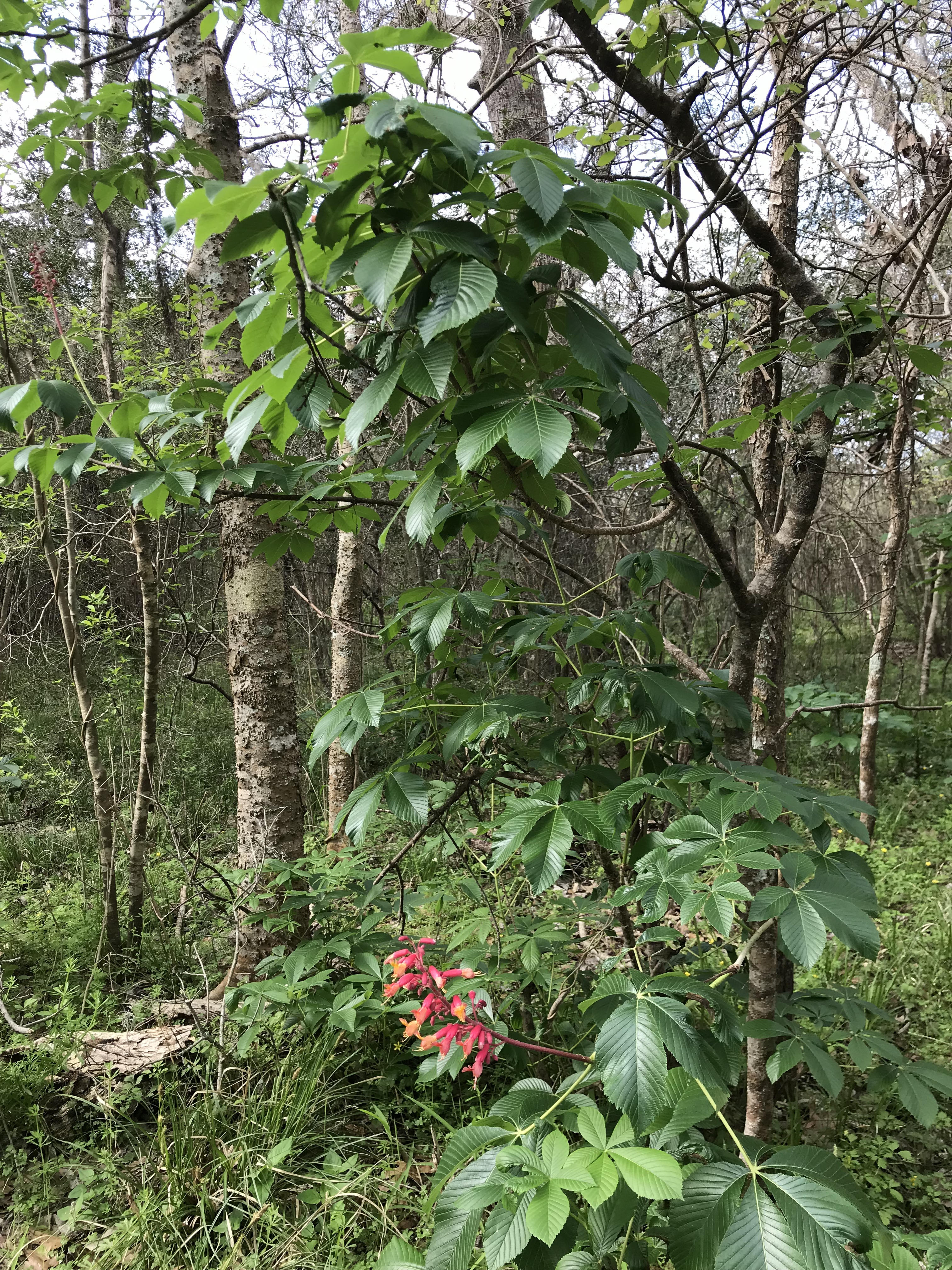 5 Pioneers Found Medicinal Value In The Red Buckeye